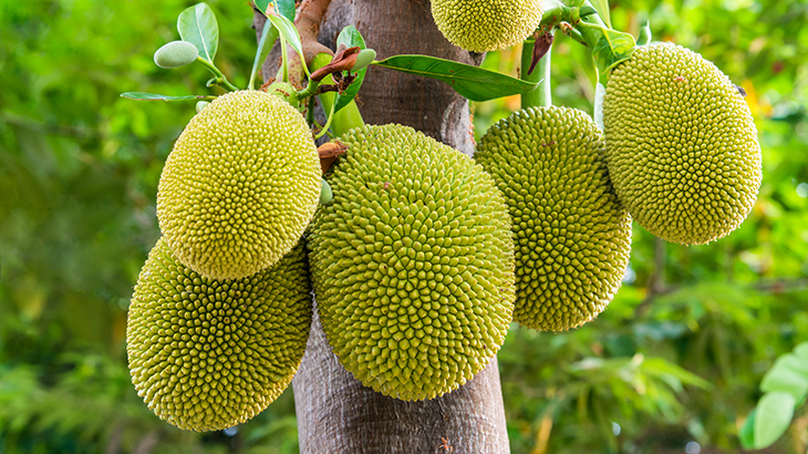 Green jackfruits hanging on a tree.