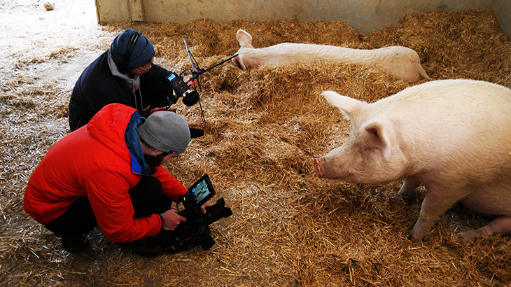 Team filming and grabing sound in the stable of the curious pigs.