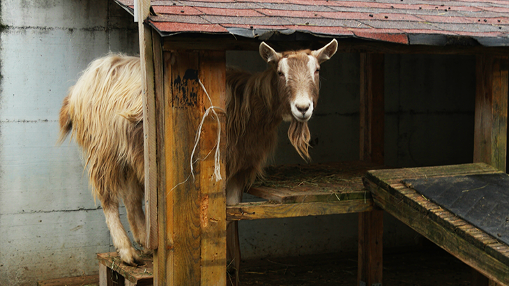 Brown-white goat looking into the camera while standing in a little wooden goat house.